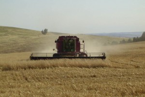 Harvesting a healthy crop of oats in one of our high country paddocks