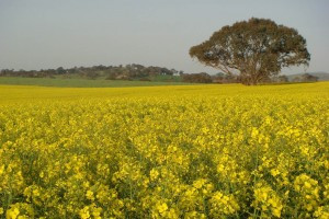 A field of yellow canola brightly flowering