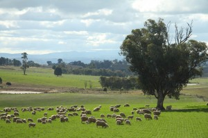 Cottee free range lambs grazing in the sun with their mothers